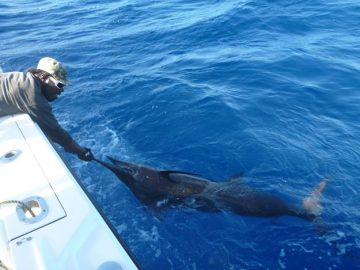 touching a blue marlin