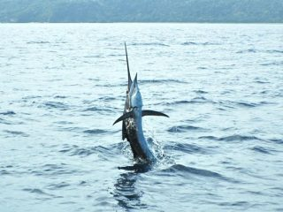 Marlin fishing by Nelson Dueza's crew