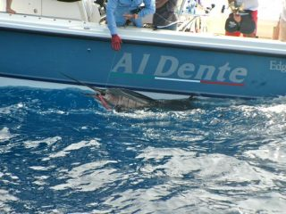 Marlin fish caught by Nelson Dueza's crew