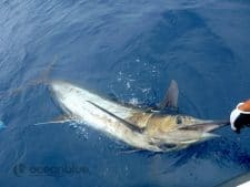 bluewater marlin