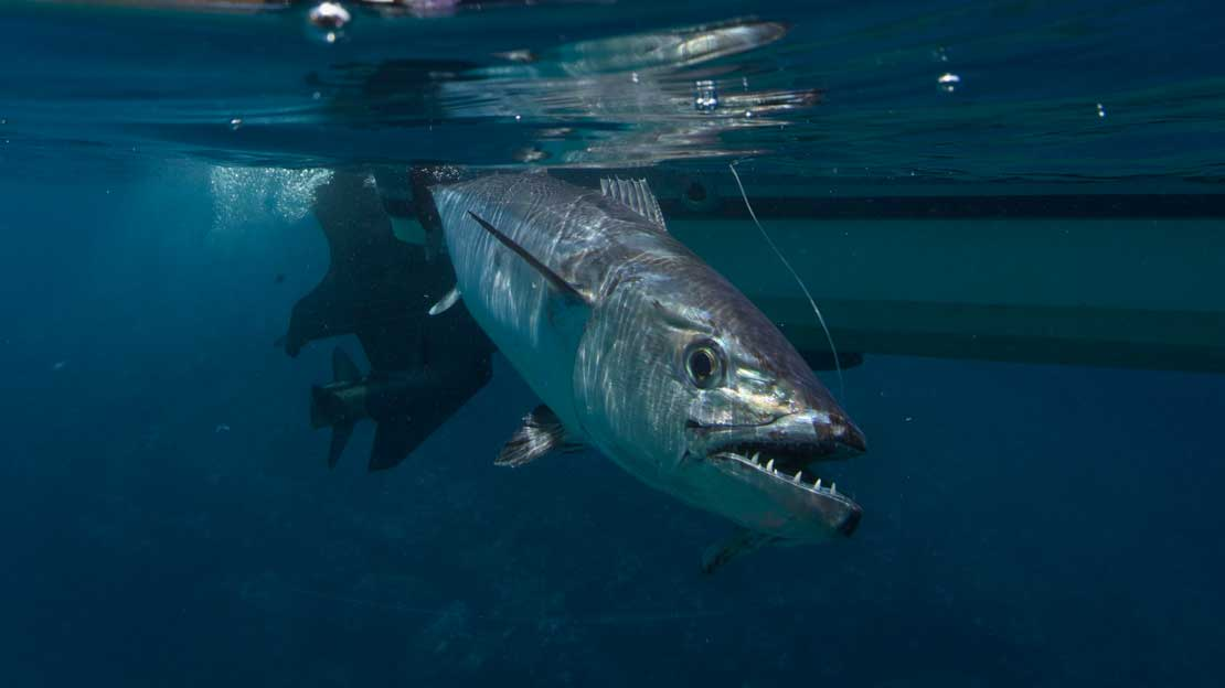 Catch a Dogtooth Tuna with these tips and infos.